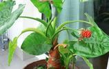 植物圖集:滴水觀音