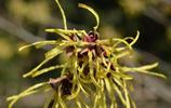 植物美圖:金縷梅