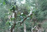 茶旅世界,不為人知的老撾古樹茶林