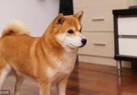柴犬是否適合和孩子一起成長? 金毛和柴犬比,哪個更合適?