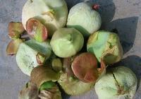 小時候的美味:茶泡和玉米烏米,竟都是作物病害,現很難吃到了!