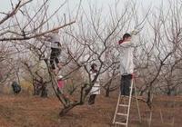 落葉果樹整形修剪誤區與科學修剪方法