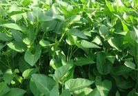 青脆幼嫩的空心菜,在種植期間,一些需要注意的栽培要點