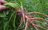 """俗稱""""野菠菜"""",春天葉子當野菜吃,秋季根挖出來當藥材"""