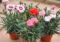康乃馨如何種植呢?