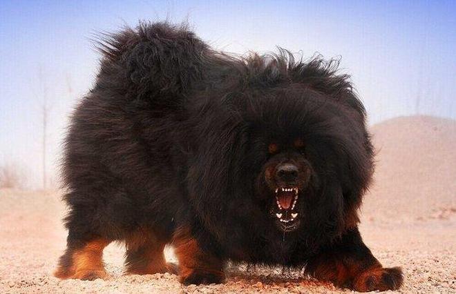 地球上4大打架最厲害的狗狗,藏獒上榜,你見過幾種?