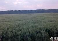 小麥收割季節,你那裡都怎麼收割麥子?還用鐮刀割麥子嗎?