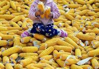 """種玉米就對了!玉米市場會""""供不應求"""" 市場行情悄悄醞釀上漲"""