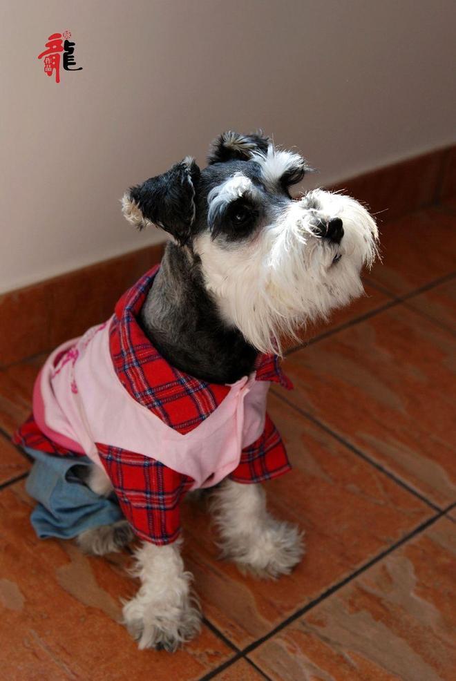 狗中的小老頭 可愛的雪納瑞