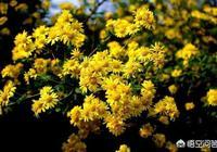 黃芩、夏枯草、野菊花泡水有什麼功效?