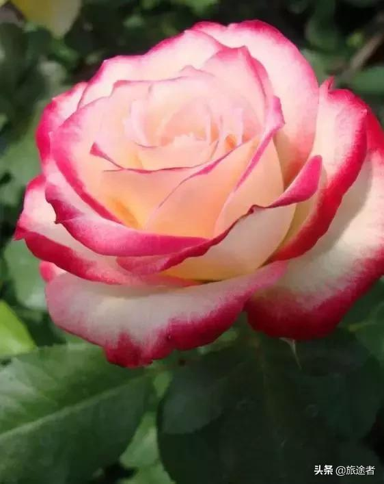 三八婦女節到了,380朵玫瑰送天下所有女人!太太太美了!