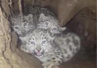 四川石渠發現三隻雪豹幼崽