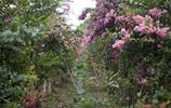 自然風光圖集:紫薇花