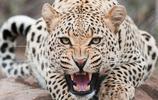 動物圖集:帥氣的獵豹