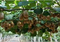 院子裡別栽樹了,養2棵獼猴桃,即好吃又好看,關鍵營養價值極高