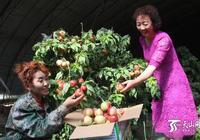 新疆烏恰縣高原大棚油桃上市熱銷