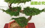 松柏盆栽松樹盆景,室內四季常青造型