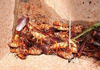 夏季蟑螂怎麼除?只需簡單1招,從此家中再無蟑螂!