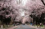2019年武漢大學櫻花節賞櫻全攻略