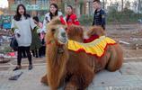 農村大集上騎駱駝照相,十元一張生意火爆,日賺400元,你騎過嗎