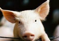 養了這麼多年的豬,你知道土雜豬、外三元豬、內三元豬的區別嗎?