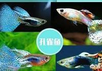 怎麼養好孔雀魚?