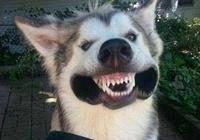飯點不見二哈回家吃飯,1個小時後鄰居打電話來,說狗已經下鍋了