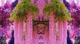 這幾種爬藤植物一開花就成瀑布,很簡單就讓陽臺成為大花園