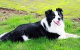 狗狗智商排名,蝴蝶犬也能上榜?