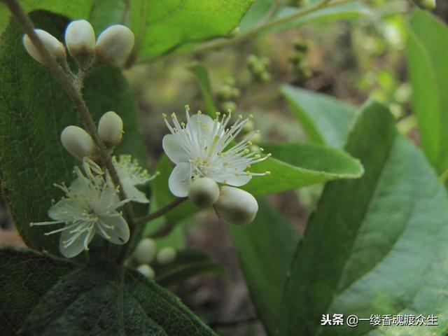 中國傳統四大香料——沉檀龍麝