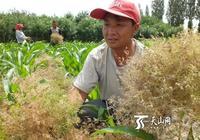 焉耆縣2.5萬畝小茴香進入收穫期