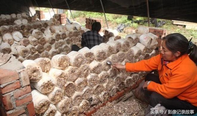 影像記錄 農村創業變廢為寶,桑枝種秀珍菇1萬袋,日產5000斤