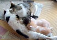 貓媽給小貓餵奶,貓爸趁機偷吃,貓媽扭頭一看貓爸舉動亮了!
