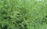 """農村路邊的""""臭野草"""",有人靠種它致富,諾貝爾獎得主為它正名"""