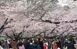 """又到一年""""櫻花節"""",東京Inokashira公園賞花正當時!"""