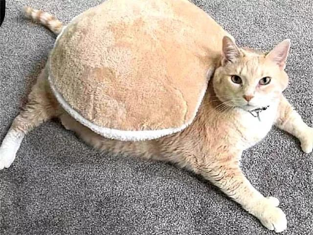 貓咪被主人打扮成烏龜,縮在殼內不願動,得知真相後怒視鏟屎官!