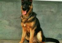 狼狗(德國牧羊犬,黑背,狼青)怎麼挑選?選購狼狗品種要看什麼