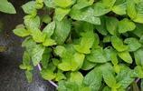 別墅小院種的這些香料花草,你能告訴我都叫什麼嗎