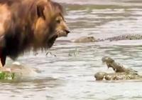 獅子貌似很怕鱷魚,但是老虎卻不怕還會捕殺它,是遇到鱷魚的種類不一樣嗎?