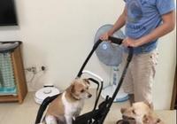 4狗2貓爭玩手推車,男主人還一起玩!女主人:玩壞了你背孩子出門