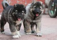 如何訓練高加索幼犬?