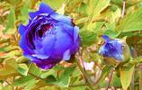 百花之王——牡丹,教你怎樣養護牡丹,讓牡丹在春節開花