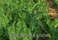 地球已無法阻止中國人種菜了!中國農民非洲種菜,結果竟發家致富