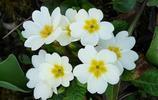 春天的信使——報春花