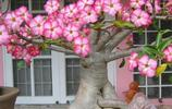 家居養這些植物,比月季蟹爪蘭茉莉美10倍,盆栽起來,太亮眼!