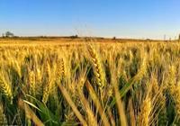 麥稍黃了的時候,有一種能夠在麥稍上游弋的蛇,這是什麼蛇呢