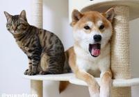 萌寵萌圖第1214:這隻柴犬真的超喜歡自家貓咪啊!