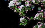 海棠開花有多美?一起來看北京故宮的海棠花枝