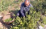 這個葉子大爺在海拔1500米高山採的一天採集一藍子不到一公斤