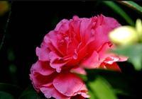 種植茶花,注意這4點小技巧,養護輕鬆花開爆盆